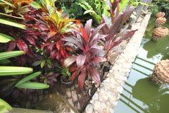 Stora vinous (röda) tropiska blommor i krukor i kruka i Nong Nooch den tropiska botaniska trädgården nära den Pattaya staden i Th Arkivfoto