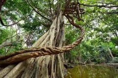 Stora vinrankor som slås in runt om träd Royaltyfria Bilder