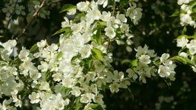 Stora vita blommor av ?pplet stock video