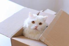 Stora vita Cat Crawled Into The Box och sammanträde inom det Royaltyfri Fotografi