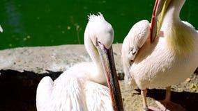 Stora vita pelikan gör ren fjädrar på ett damm lager videofilmer
