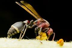 Stora Wasp på tunn filial i vår Arkivbilder
