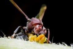Stora Wasp på tunn filial i vår Royaltyfria Foton