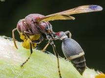 Stora Wasp på tunn filial i vår Royaltyfria Bilder