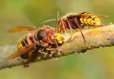 stora wasps Royaltyfri Foto