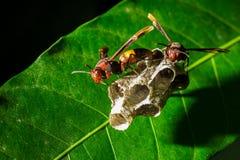 stora wasps Arkivfoton