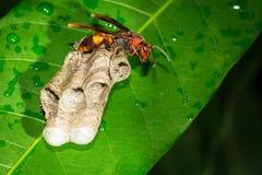stora wasps Fotografering för Bildbyråer