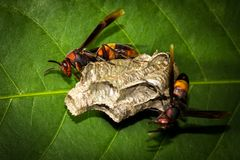 stora wasps Royaltyfria Foton