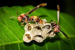 stora wasps Royaltyfri Bild