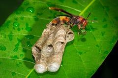stora wasps Royaltyfri Fotografi