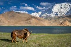 stora yak Arkivbilder