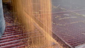 Storage of cereals after harvest. Unloading wheat after the harvest in a floor storage from a tractor trailer,video clip stock footage
