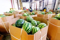 Storage and sorting of watermelons stock photo