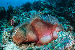 storartad anemon Royaltyfria Bilder