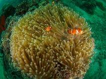 Storartad anemon med fisken Royaltyfri Fotografi