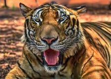 Storartad bengal tiger, Thailand, Asien Royaltyfri Bild