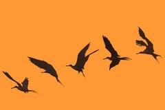 Storartad följd för flyg för fregattfågel Arkivfoton