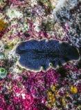 Storartad Flatworm arkivfoto