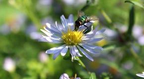 Storartad fluga och härlig blomma mot bakgrunden av gräs royaltyfri bild