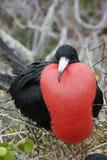 storartad frigatebird Arkivfoton