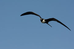 storartad frigatebird Arkivfoto