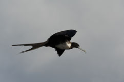 storartad frigatebird Royaltyfri Bild