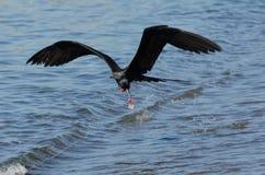 storartad frigatebird Arkivbilder