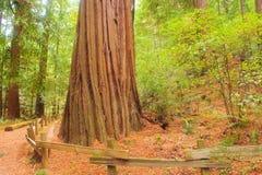 storartad gammal redwoodträd för kust- tillväxt Royaltyfri Fotografi