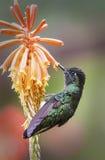 storartad hummingbird Arkivbilder