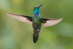 Storartad kolibri i Costa Rica Arkivfoto