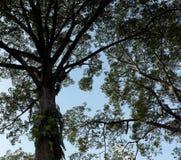 Storartad krona av ett tr arkivfoton