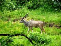 Storartad Kudu tjur Royaltyfri Foto