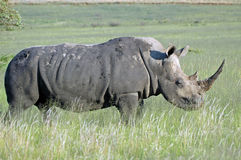 storartad noshörningwhite Royaltyfria Bilder