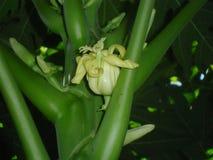 Storartad och ung papayablomma arkivbilder