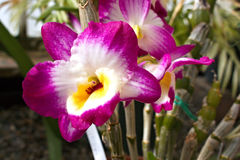 Storartad orkidé Royaltyfri Fotografi
