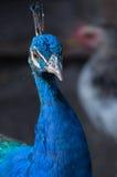 Storartad portret för påfågel (pavoen Cristatus) Arkivfoto