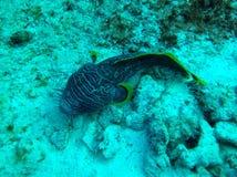 storartad toadfish Arkivbilder