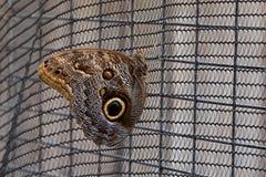 Storartad ugglafjäril arkivfoto