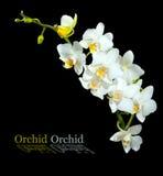 Storartad vit orkidé Isolerat på en svart bakgrund Royaltyfri Foto