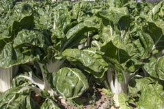 Storartade chardväxter på den organiska lantgården Royaltyfria Foton