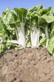 Storartade chardväxter på den organiska lantgården Royaltyfri Foto