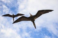 Storartade flugor för en frigatebird (Fregatamagnificens) Royaltyfri Fotografi