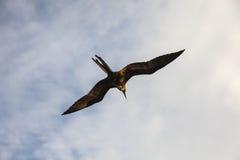 Storartade flugor för en frigatebird (Fregatamagnificens) Royaltyfria Bilder