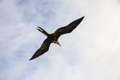 Storartade flugor för en frigatebird (Fregatamagnificens) Royaltyfri Foto