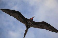Storartade flugor för en frigatebird (Fregatamagnificens) Arkivbilder