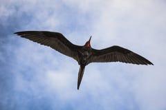 Storartade flugor för en frigatebird (Fregatamagnificens) Arkivfoton