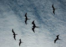 Storartade fregattfåglar silhouetted i flykten Royaltyfria Foton