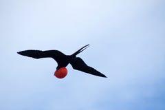 Storartade Frigatebird (Fregatamagnificens) Arkivfoto