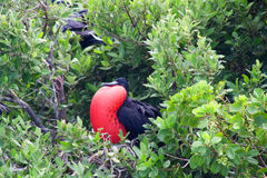 Storartade Frigatebird (Fregatamagnificens) Arkivbilder