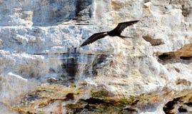 Storartade Frigatebird i flykten Royaltyfria Bilder